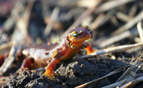 california-newt-44-4-14-thumb-600x368-71656