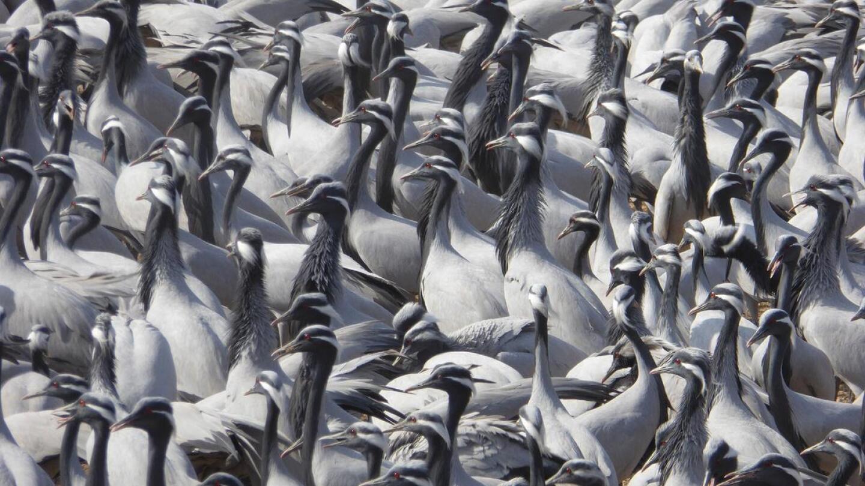 A crowd of demoiselle cranes.