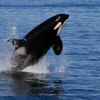 southern-resident-killer-whale-1-1-16-thumb-630x420-100445-thumb-630x420-100446