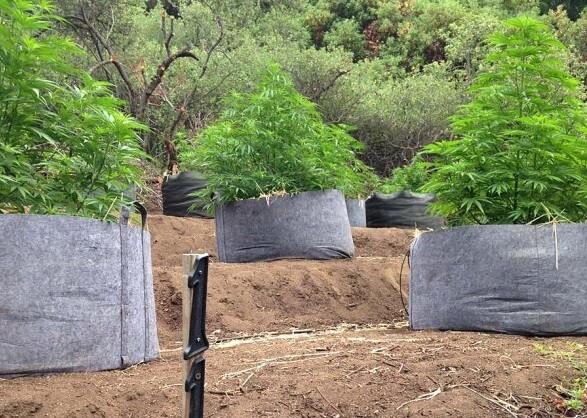 pot-grow-santa-cruz-7-21-14-thumb-600x427-77897