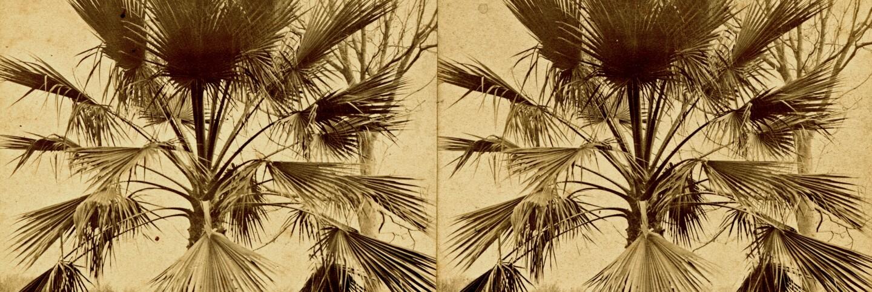 Fan leaf palm