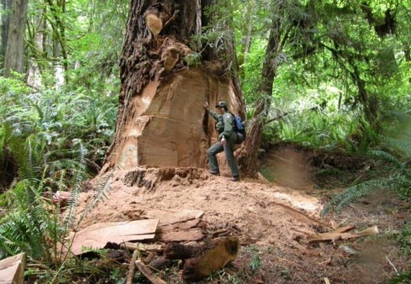 Disturbing evidence of an 8x10-foot section of poached burl-wood. | Photo: Courtesy NPS