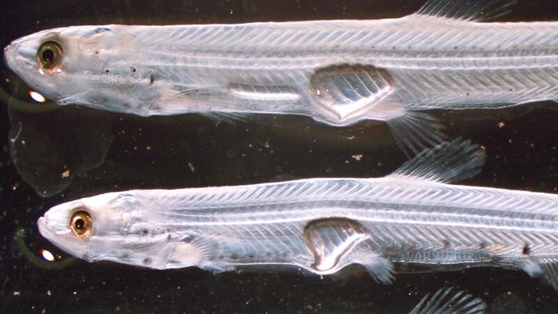 Early juvenile longfin smelts   Photo: USFWS