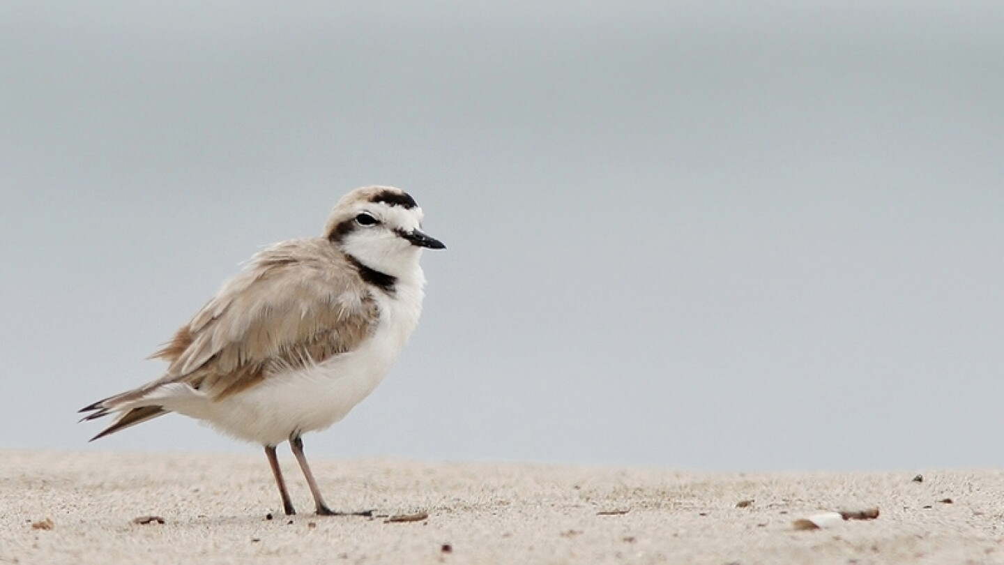 Snowy Plover | Photo: Steve Berardi, some rights reserved