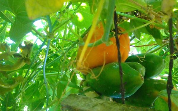 Papayas danlge into the alley next to the Vertiz household | Photo: Vickie Vertiz