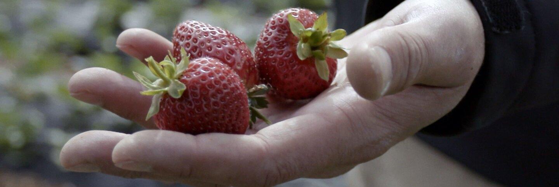 "Hand holding strawberries grown at Potawot Community Food Garden. | Still from ""Tending Nature"""
