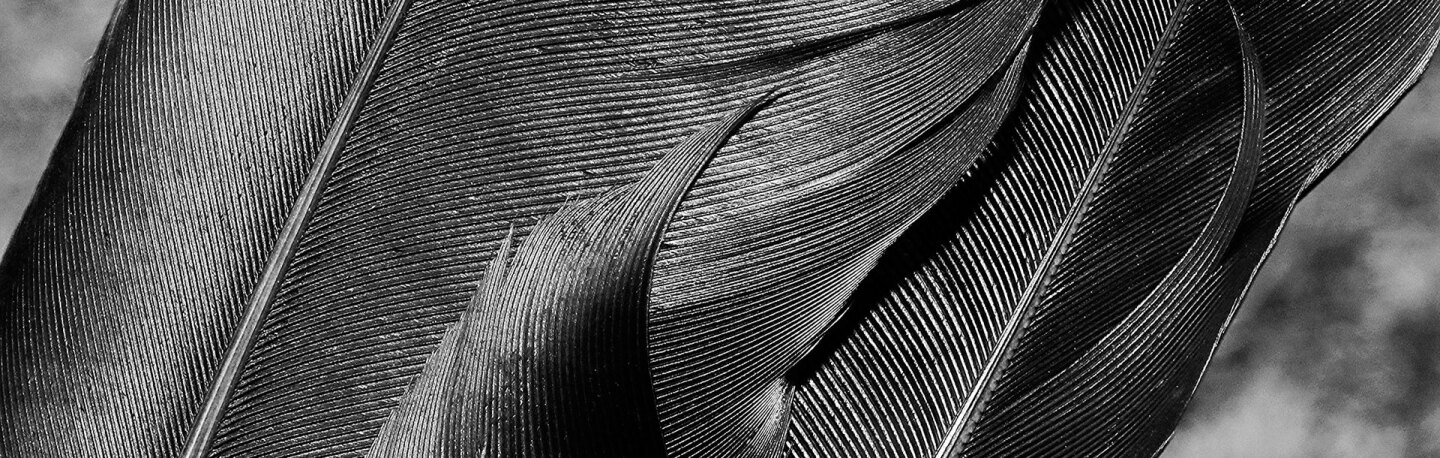 Raven feathers close up