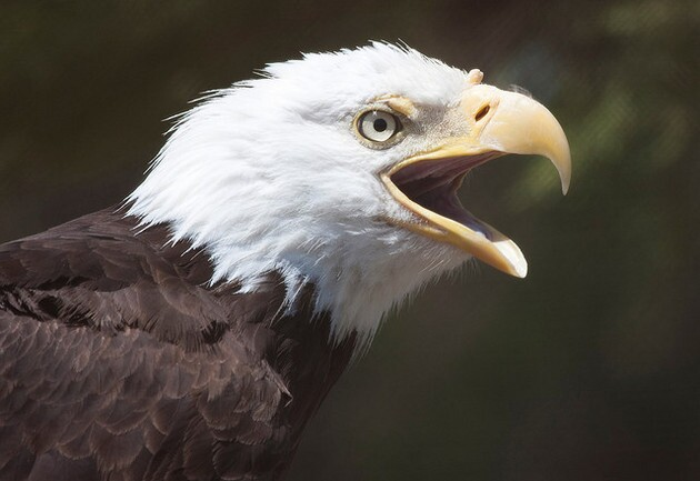 bald-eagle-usfws-8-13-15-thumb-630x433-96348
