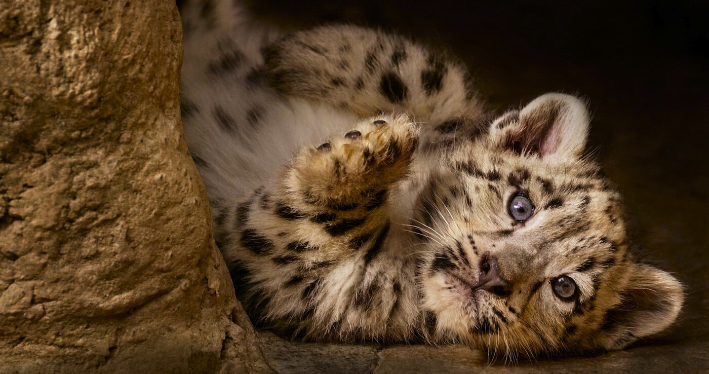 "Disneynature's ""Born in China"" captures snow leopard cubs in the wild"