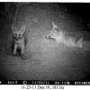 Camera Trap captures kit foxes near a den entrance | Courtesy California Energy Commission
