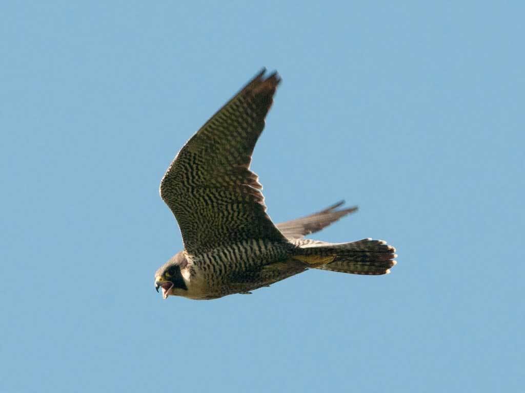 Pregrine Falcon | Sergey Yeliseev/Flickr/Creative Commons License