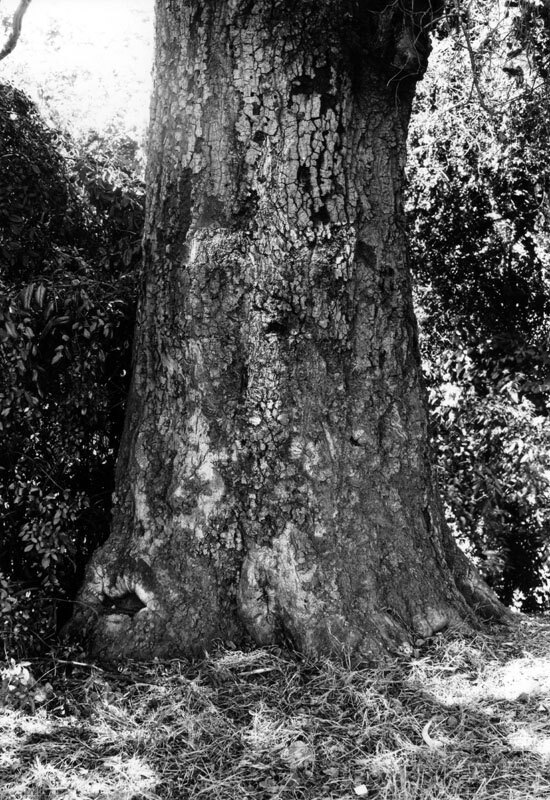 Close-up of the Cathedral Tree's trunk, showing the faint outline of a cross supposedly carved by Portola in 1770. Courtesy of the Photo Collection, Los Angeles Public Library.