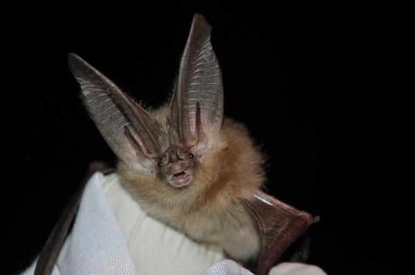 townsends-big-eared-bat-6-28-13-thumb-600x398-54425