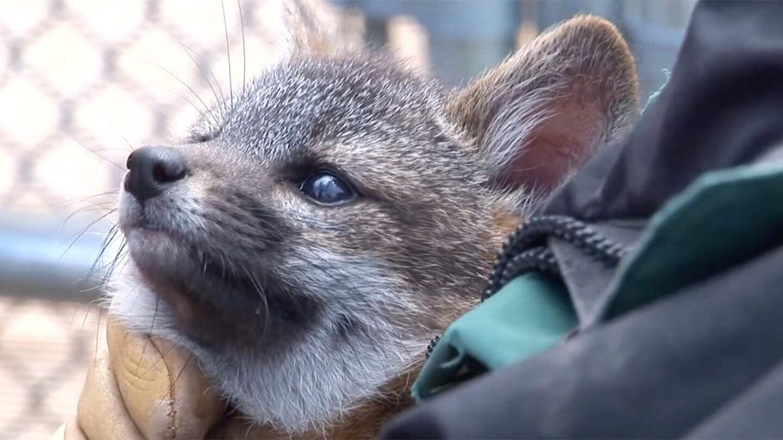 Channel Islands Fox