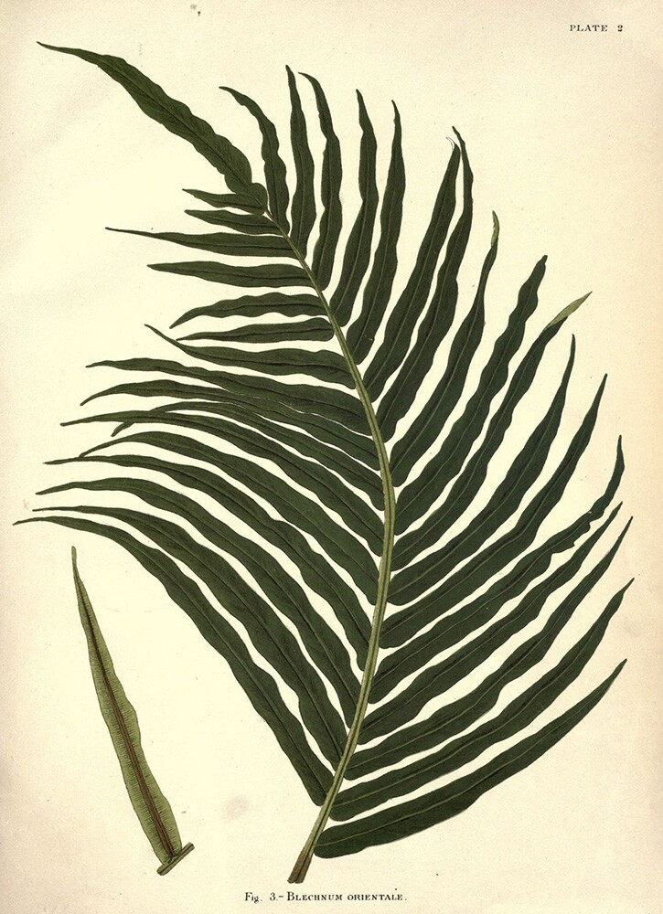 Blechnum Fern | Biodiversity Heritage Library | Album of Indian Ferns, 1887 (CC BY-NC-SA 2.0)