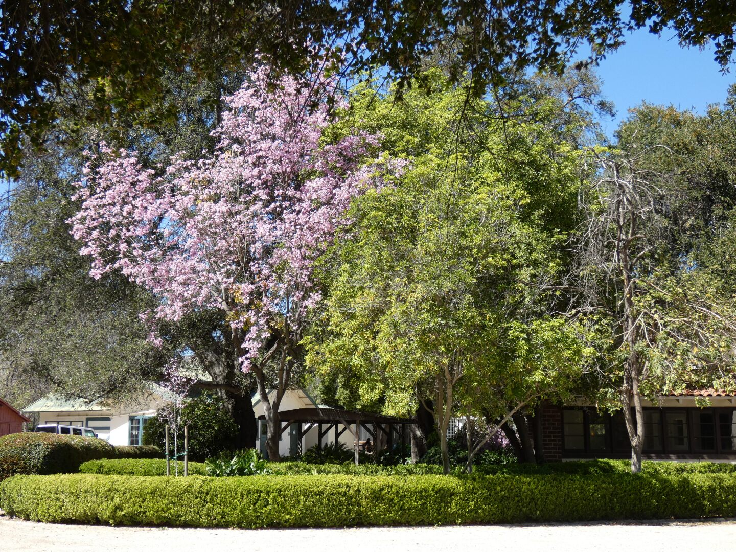 Pink trumpet trees along with other large towering greenery covers buildings at Orcutt Ranch.