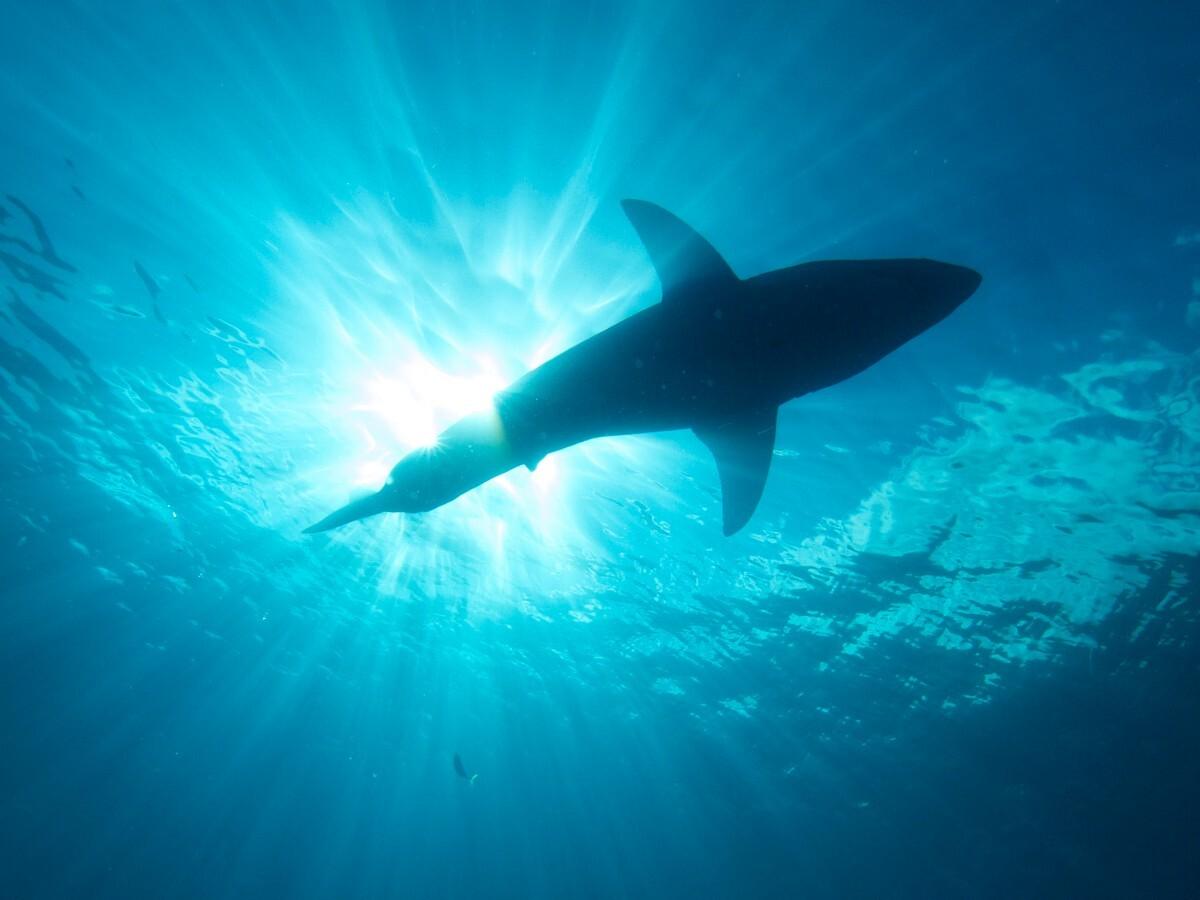 Great White Shark | Flicker: Elias Levy