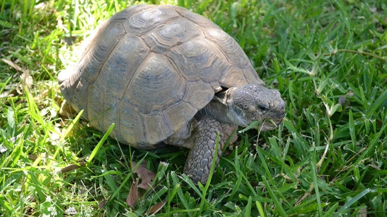 Desert tortoise available for adoption. | Photo: Alicia Clark/KCET