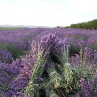 Courtesy Keys Creek Lavender Farm