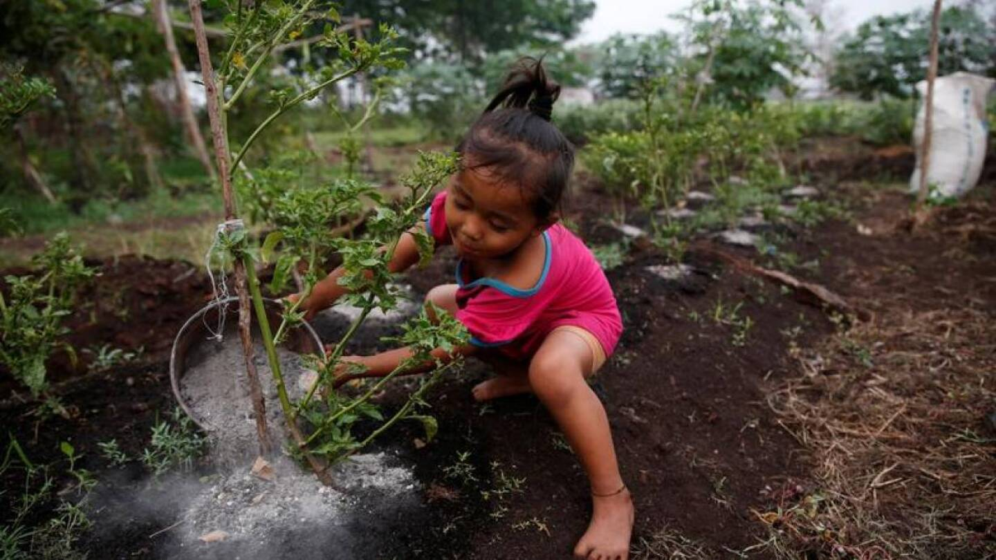 Raniatil Wada, a 3-year-old girl, pours ash from burnt trees and peatland soil onto a chilli plant as she helps her father at Sebangau district in Palangka Raya, Central Kalimantan province, Indonesia, September 18, 2019. | REUTERS/Willy Kurniawan