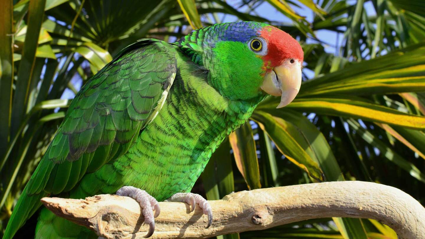 Red-crowned Amazon Parrot (large) | iStock/Parrotstarr
