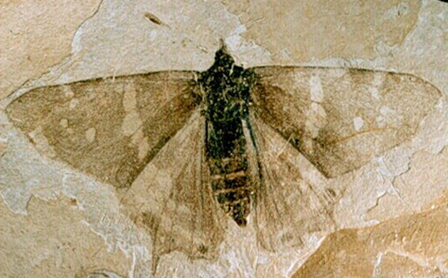 florissant-fossil-butterfly