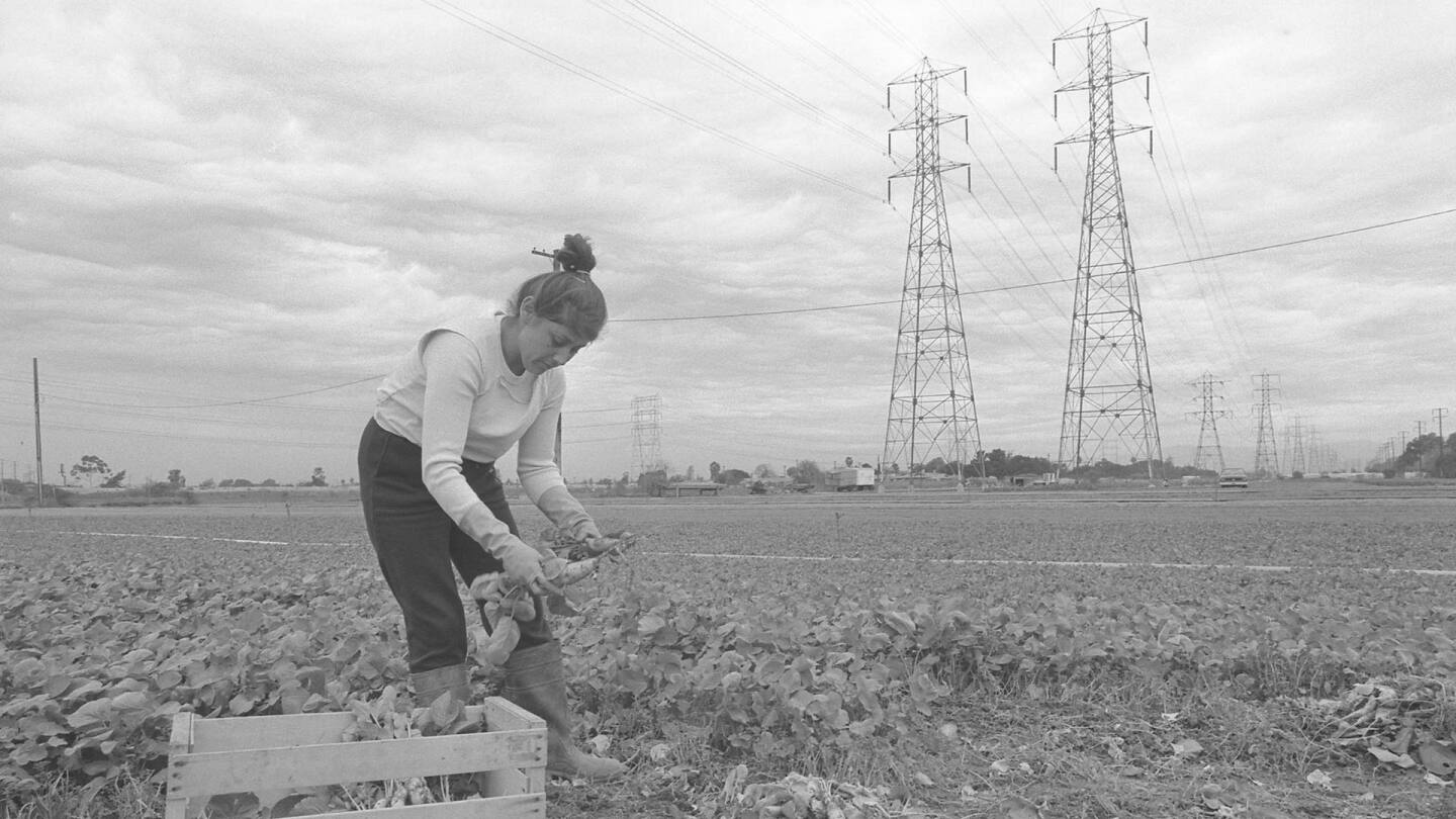 Patricia Baltazar harvests in a field that would eventually be part of the 105/Century Freeway. 1986. | Courtesy of Angel City Press