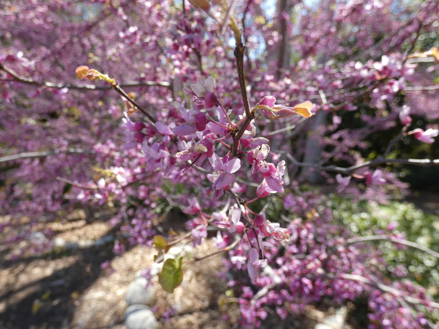 A close-up of the Western redbud blossom at Orcutt Ranch.