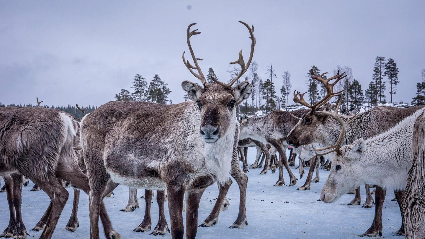 One of a group of reindeer looks into the camera.