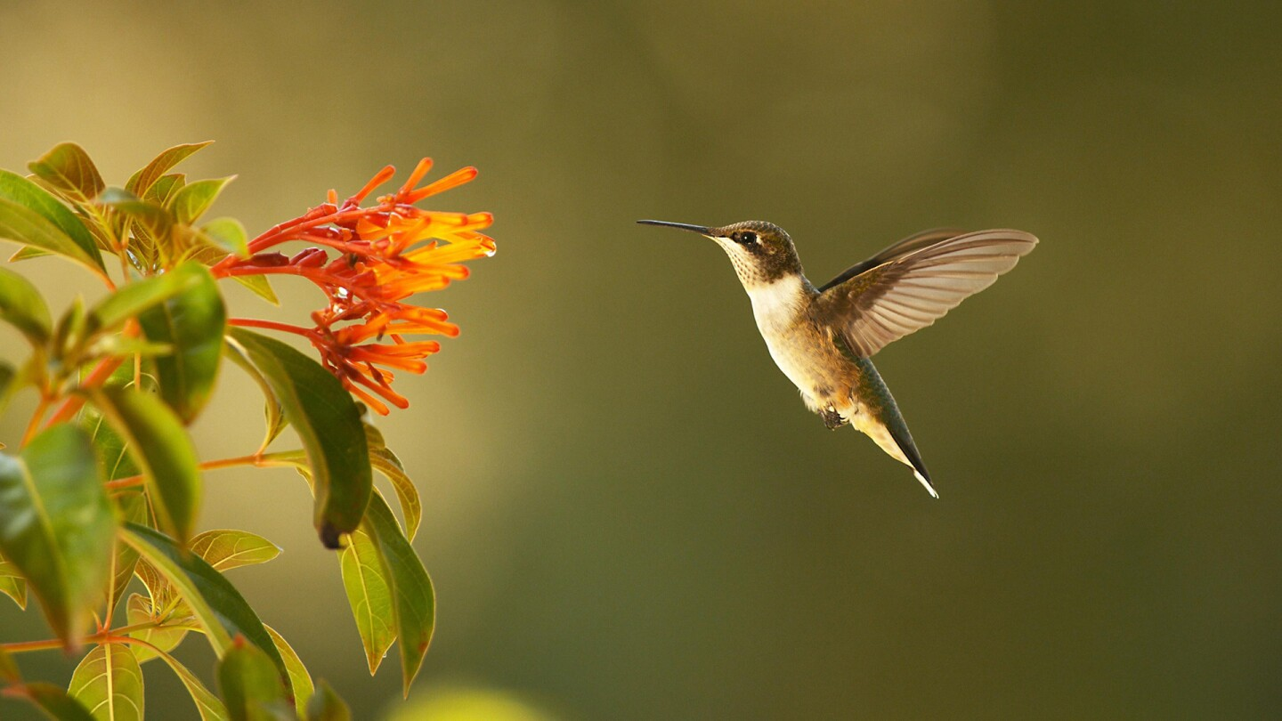 "A hummingbird hovers beside a flower. | From ""Super Hummingbirds."""