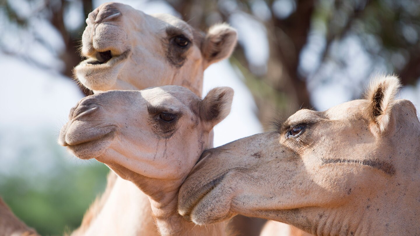 Three camels in Kenya | Nicky Milne/Thomson Reuters Foundation