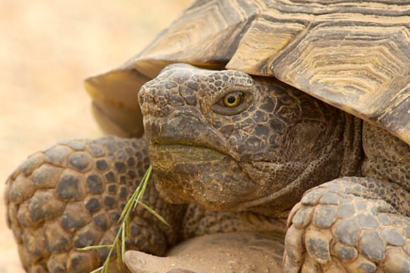 Adult desert tortoise. | Photo: Courtesy David Lamfrom.