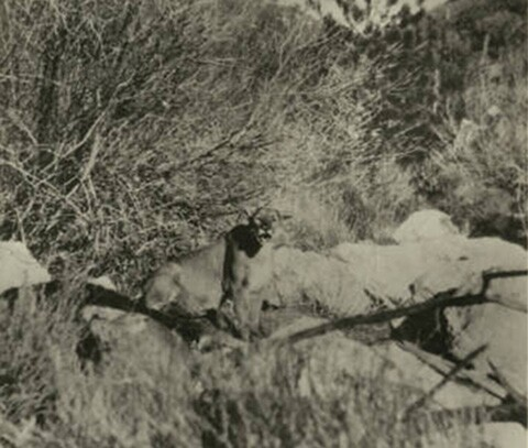 California mountain lion, circa 1920 | Digitally reproduced by the USC Digital Library; From the California Historical Society Collection at the University of Southern California