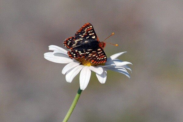 Quino butterflys are a subspecies of the Edith's Checkerspot