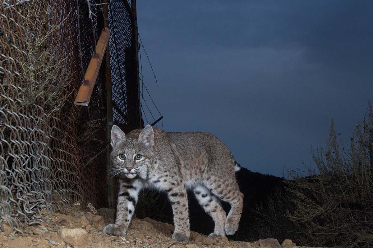 Bobcat (Lynx rufus) of Griffith Park| Courtesy of Miguel Ordeñana