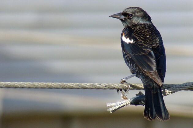 tricolored-blackbird-12-14-15-thumb-630x420-100109