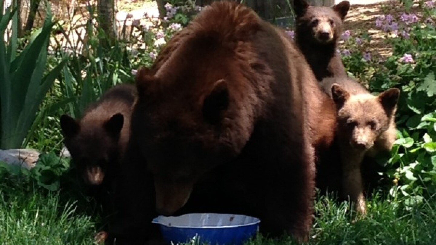 A family of black bears in the Lake Tahoe area. | Photo courtesy NV Dept. of Wildlife.