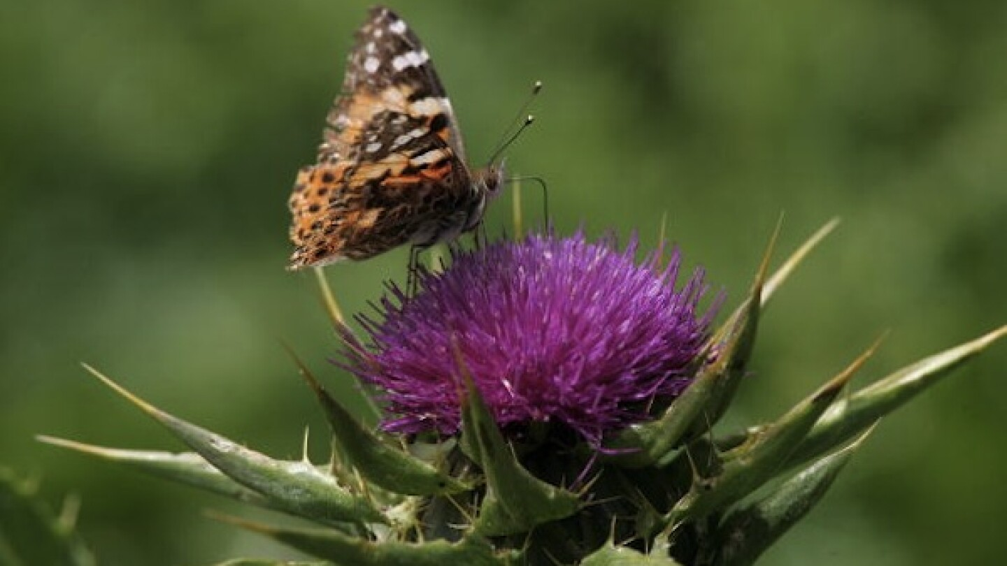 A Painted Lady butterfly rests on a flower in Oakland in 2005.   Photo by Justin Sullivan/Getty Images