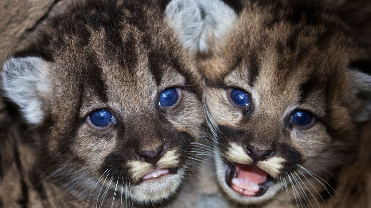 Kitten siblings P-46 and P-47 at their den in the western Santa Monica Mountains.   Santa Monica Mountains National Recreation Area / Public Domain