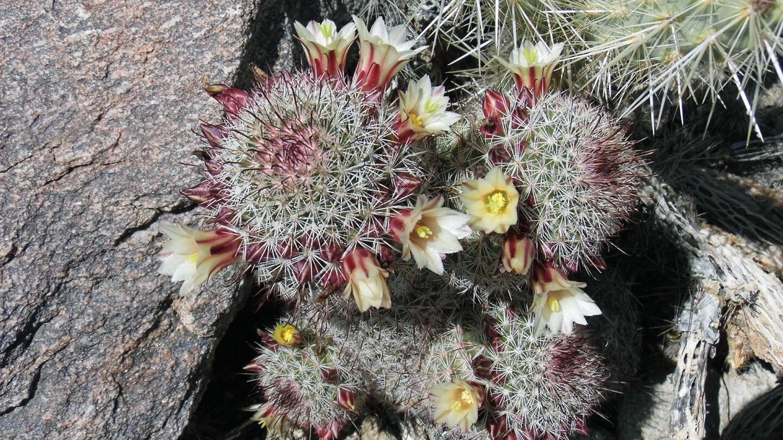 cactus in anza borrego
