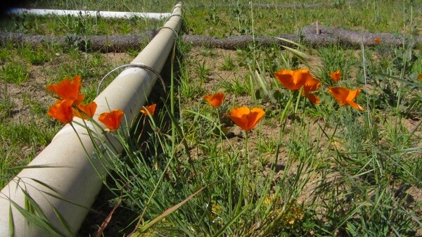 California Poppies seen along the reopened path.   Photo: Zach Behrens/KCET
