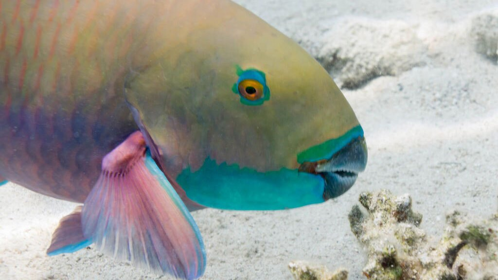 Herbivores like this parrotfish can control the spread of algae on a reef. | Photo: Ratha Grimes, some rights reserved