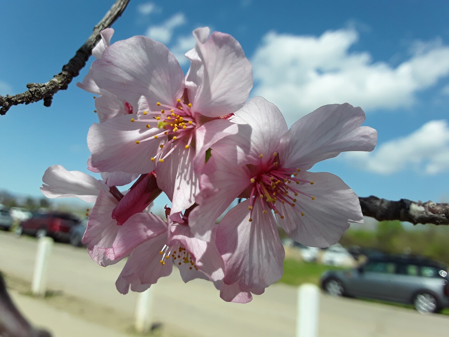 A close-up view of the cherry blossoms in Lake Balboa in San Fernando Valley.