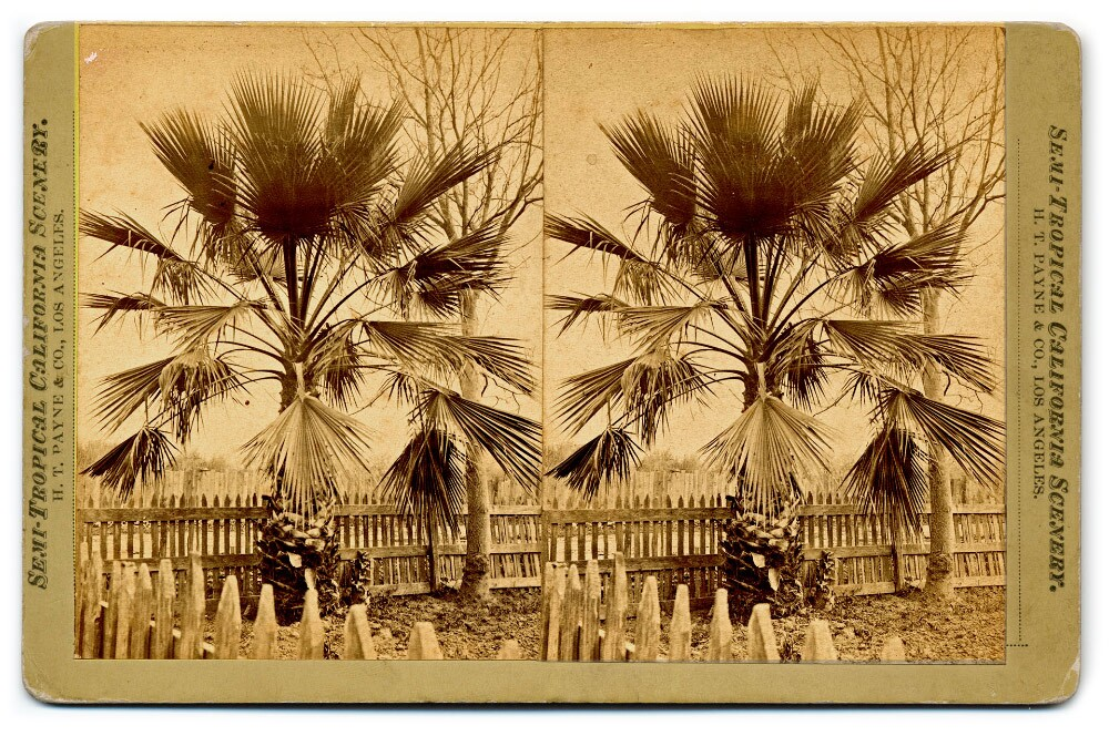 Semi-Tropical California Scenery: Fan-leaf palm (H. T. Payne & Company). Photograph courtesy of California State Library