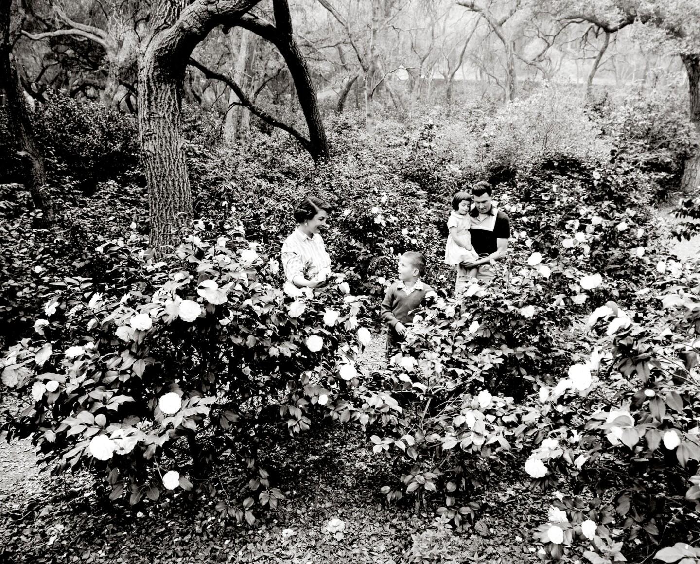 Camellias beneath oak trees at Descanso Gardens