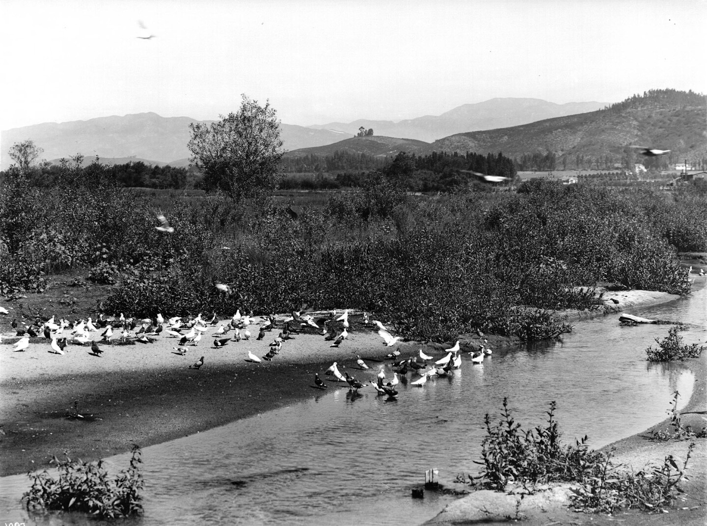 Pigeons bathe in the very river that would eventually claim their lives