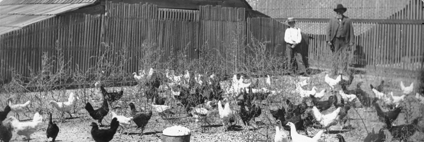 Photograph of about 50 chickens standing in an outdoor pen, ca.1900. Two buckets of collected eggs sit in the foreground. A bearded man and young boy in strawhat stand in the background against a wooden fence near a barn. | Courtesy of USC Libraries