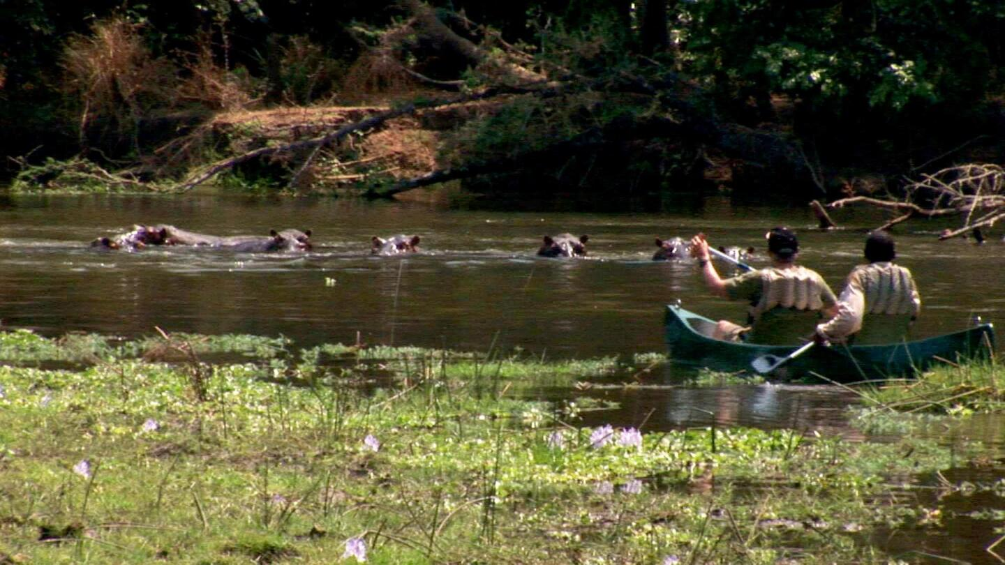 Two people row a boat in a river in Zambia to get closer to a group of hippos in the water.