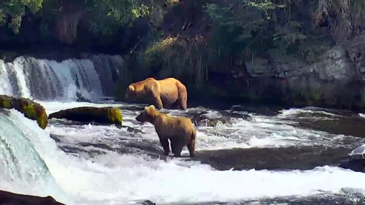 Still of brown bear fishing at Brooks Falls. | explore.org