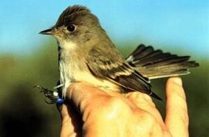 The Southwestern Willow Flycatcher   Photo Courtesy USGS